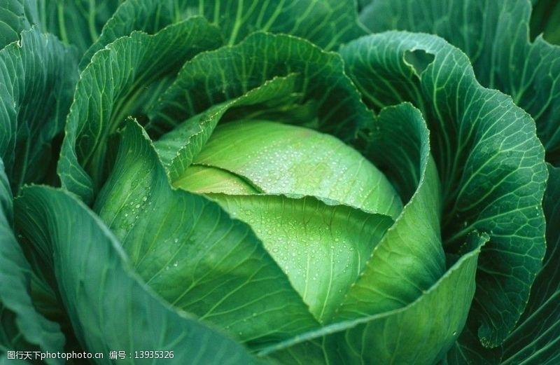 菜球卷心菜图片